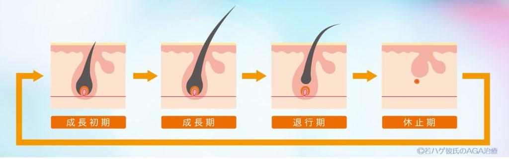 毛を生成するヘアサイクル